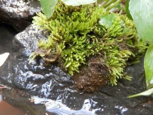 ベランダビオトープの苔
